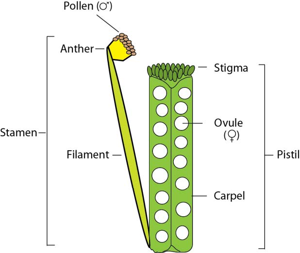 Fpsc genetics evolution modern genetic sciences flower diagram figure 8 schematic representation of floral reproductive organs sepals and petals in the outer whorls not shown ccuart Images
